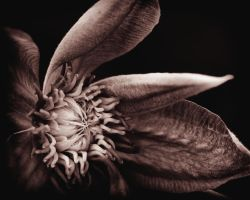 My Dark Clematis by tmfNeurodancer