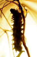 Cecropia Generation 2 cocoon building by Meddling-With-Nature