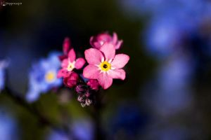 Solely pink by Peregrijn