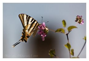 Wings of a Butterfly by Misantropia