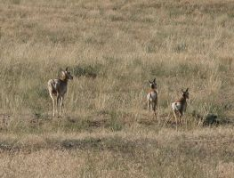 Antelope family 1 by DocMallard