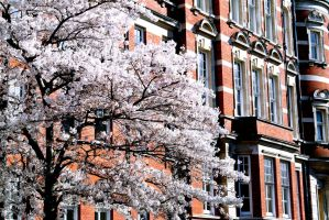 Blossom Tree by michael-brown