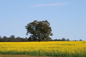 Canola Crop by SunOwl