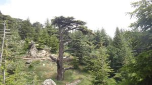 Cedar Tree from the Mountains by AnonymousRabbitLover