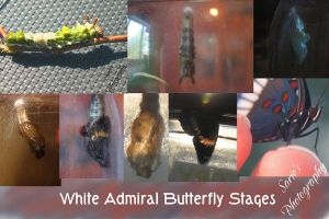 White Admiral Butterfly Stages by Sariebear20