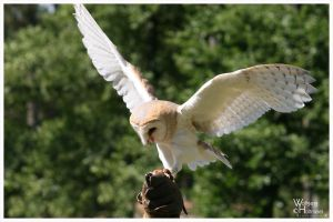 Barn Owl Touch Down II by W0LLE