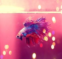 My Betta by akahyaoglu