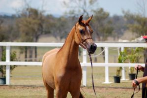 GE Arab chestnut close up by Chunga-Stock