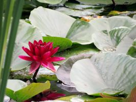 Water  Lily by danielajaclyn