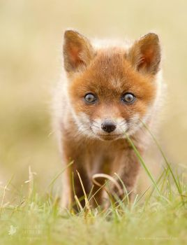 Cute Red Fox Kit by thrumyeye