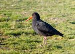 Variable Oystercatcher by ARC-Photographic