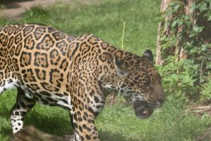 jaguar in Zoo 4 by ingeline-art