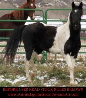 BW Paint Mare 04 by AstriexEquineStock
