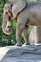 Toronto Zoo Visit 2013:  Elephant's Dust Bath by basseca
