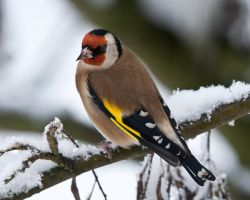 Goldfinch by pixellence2