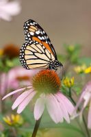 Monarch on Coneflower Throne by papatheo