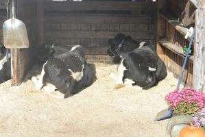 Milking Cows Resting by Miss-Tbones