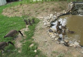 Orphaned Goslings and Ducklings 1b by Windthin
