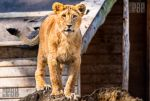 Young Lion Cub by PictureByPali