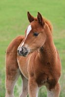 Lilly Foal by aaphotos
