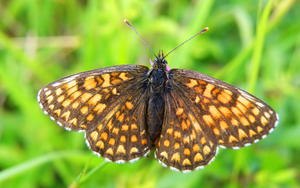 Butterfly brown by Bhesi