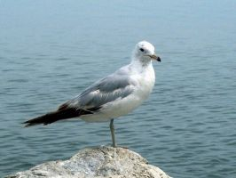 One Legged Seagull by Photos-By-Michelle
