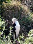 Yellow Eyed Penguin 03 by es32