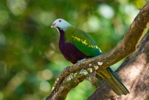 Wompoo Fruit Dove by strictfunctor