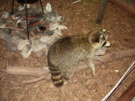 Racoon by gothfiend-stock