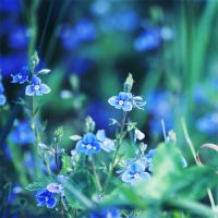 Blue flowers by ladyang