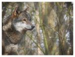 Grey Wolf - Canis Lupus by Wolfy2k4