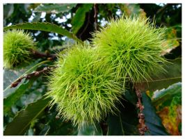 Growing chestnuts by inbalance
