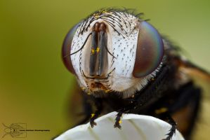 Tachinid Fly - Belvosia sp. by ColinHuttonPhoto