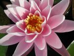 Another Pink Water Flower by lironk