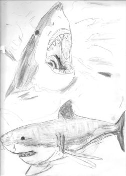 Great White Shark Sketches by Art-By-Sammy