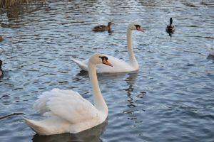 Swans and ducks by A1Z2E3R