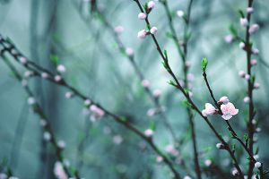 The Buds Will Bloom by And-I-Walk-Alone