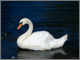 Swan in blue water by Mogrianne