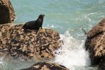 New Zealand Fur Seal by Mikelyjohnsono