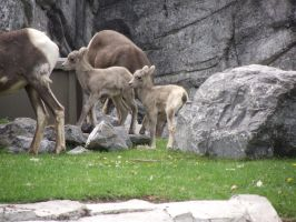 Baby big horn sheep by Kayllik