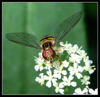 Hoverfly by george-kay
