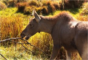 Young moose by DeingeL
