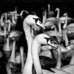 Swansong3 by Coigach