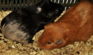 goldee and blacka guinea pig friends by analovecatdog