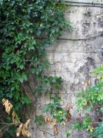 ivy wall by Meltys-stock