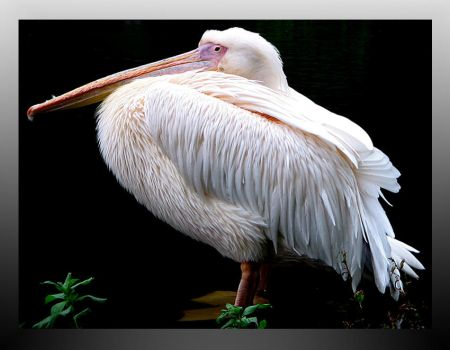 Proud pelican by Lunchi