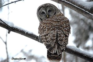 Barred Owl by gigi50