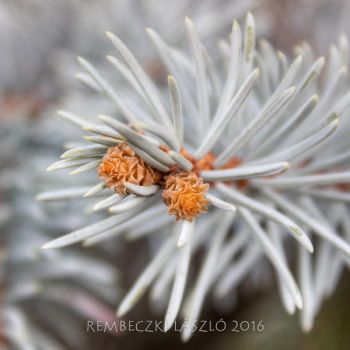 Picea Pungen by rembo78