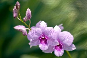 Pink/Purple Lip Orchid by still-life78