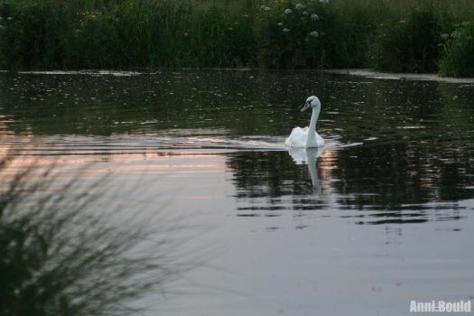 Perhaps Its Another... Swan by camerasgobangtoo